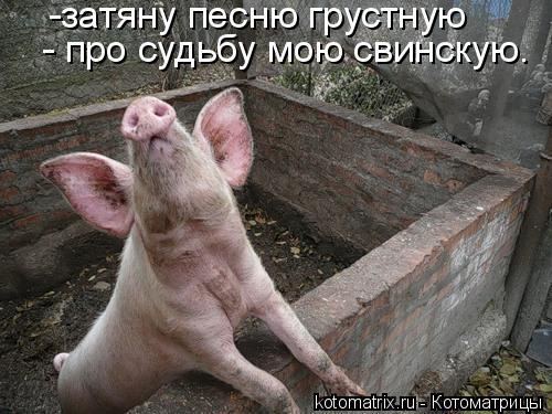 Котоматрица: -затяну песню грустную  - про судьбу мою свинскую.