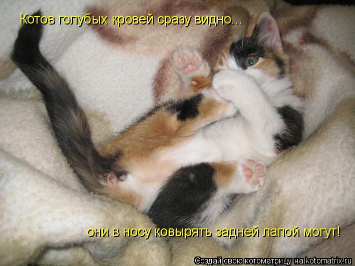 Котоматрица: Котов голубых кровей сразу видно... они в носу ковырять задней лапой могут!