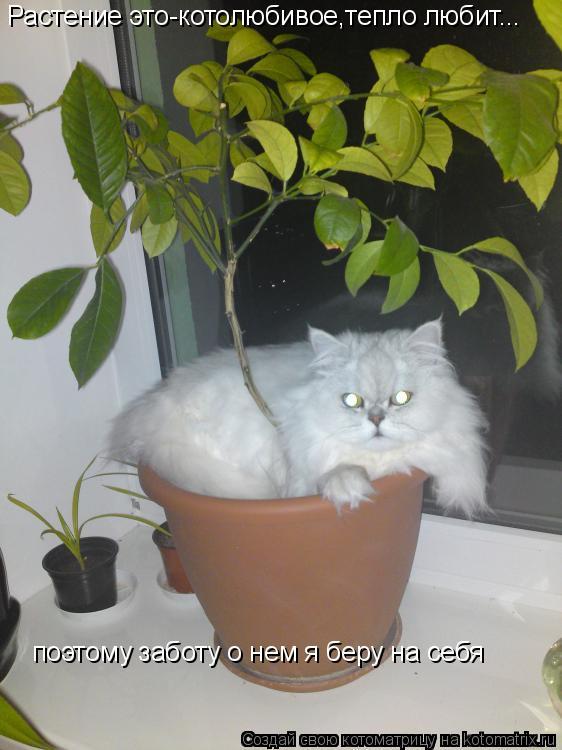 Котоматрица: Растение это-котолюбивое,тепло любит... поэтому заботу о нем я беру на себя