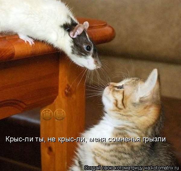 Котоматрица: Крыс-ли ты, не крыс-ли, меня сомненья грызли