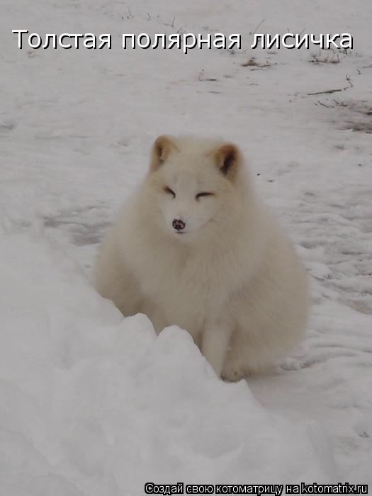Котоматрица: Толстая полярная лисичка