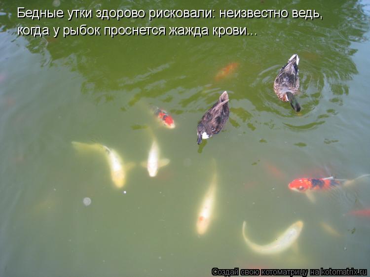 Котоматрица: Бедные утки здорово рисковали: неизвестно ведь, когда у рыбок проснется жажда крови...