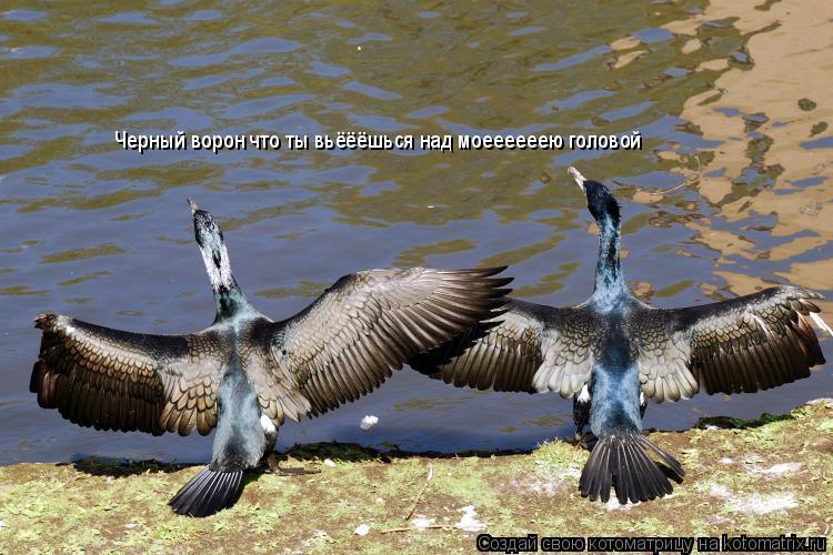Котоматрица: Черный ворон что ты вьёёёшься над моеееееею головой