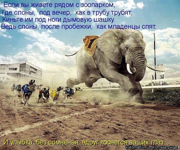 Котоматрица: Если вы живете рядом с зоопарком,  Где слоны,  под вечер,  как в трубу трубят,  Киньте им под ноги дымовую шашку. Ведь слоны, после пробежки,  ка
