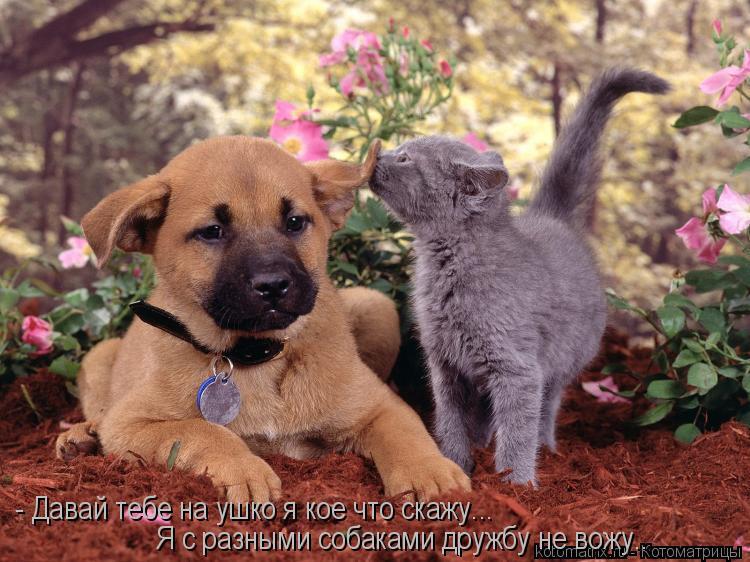 Котоматрица: - Давай тебе на ушко я кое что скажу... Я с разными собаками дружбу не вожу..