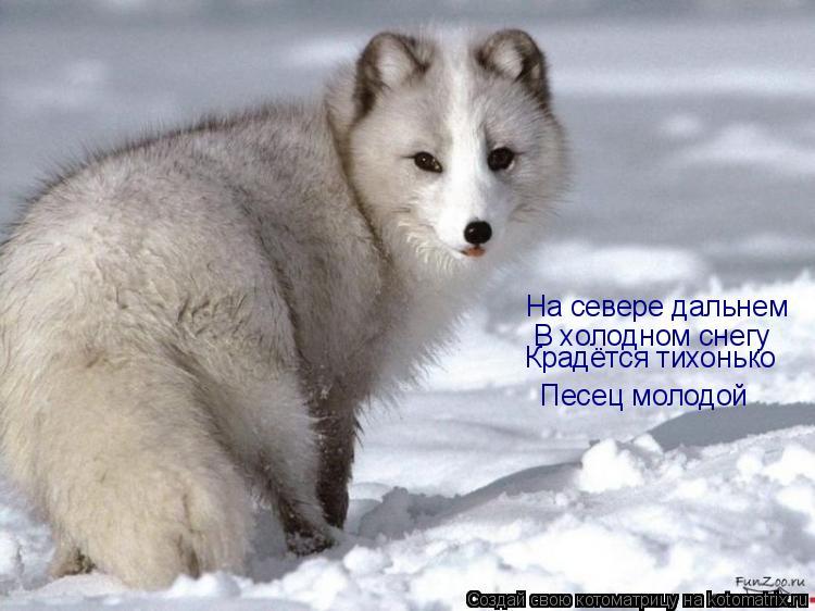 Котоматрица: На севере дальнем В холодном снегу Крадётся тихонько Песец молодой