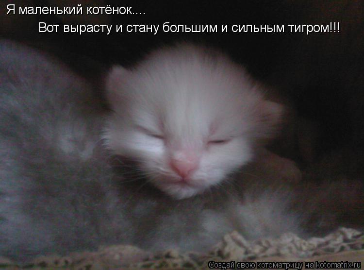 Котоматрица: Я маленький котёнок.... Вот вырасту и стану большим и сильным тигром!!!