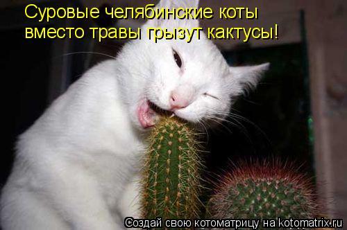 Котоматрица: Суровые челябинские коты  вместо травы грызут кактусы!