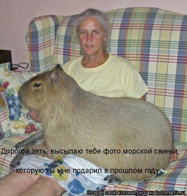 Котоматрица: Дорогой зять, высылаю тебе фото морской свинки,  которую ты мне подарил в прошлом году...