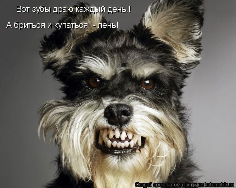 Котоматрица: Вот зубы драю каждый день!! А бриться и купаться  - лень!