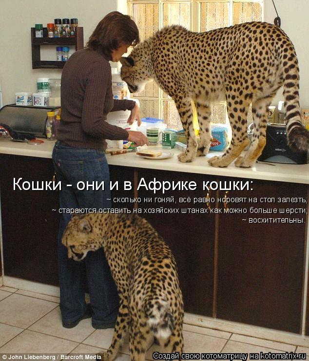 Котоматрица: Кошки - они и в Африке кошки: ~ сколько ни гоняй, всё равно норовят на стол залезть; ~ стараются оставить на хозяйских штанах как можно больше