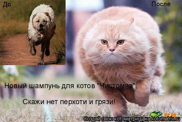 """Котоматрица: До После Новый шампунь для котов """"Чистомяв"""". Скажи нет перхоти и грязи!"""