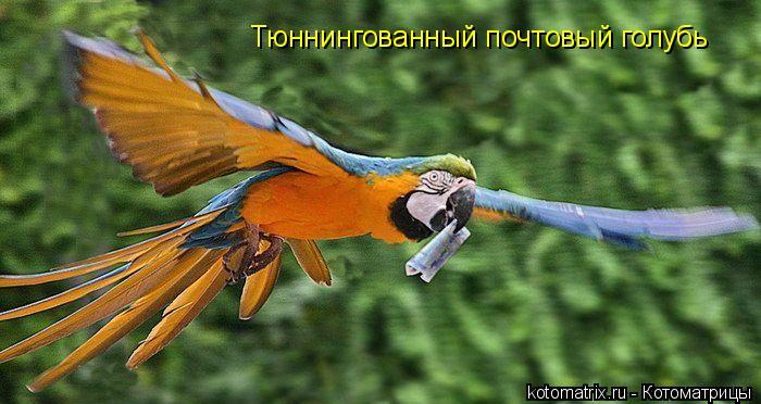 Котоматрица: Тюннингованный почтовый голубь