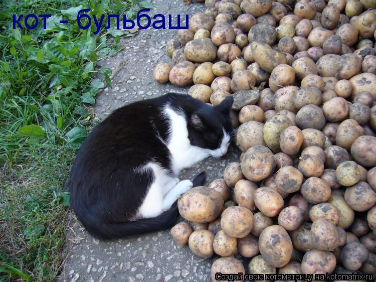 Котоматрица: кот - бульбаш