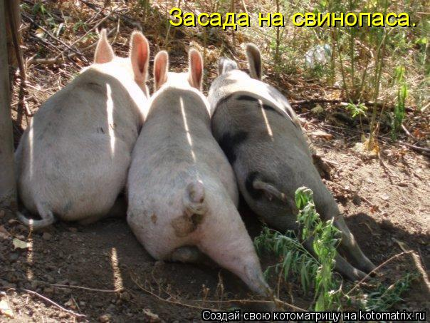 Котоматрица: Засада на свинопаса.