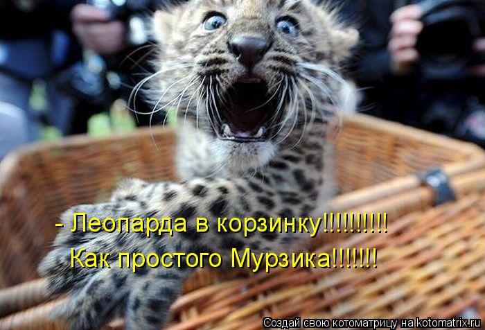Котоматрица: - Леопарда в корзинку!!!!!!!!!! Как простого Мурзика!!!!!!!