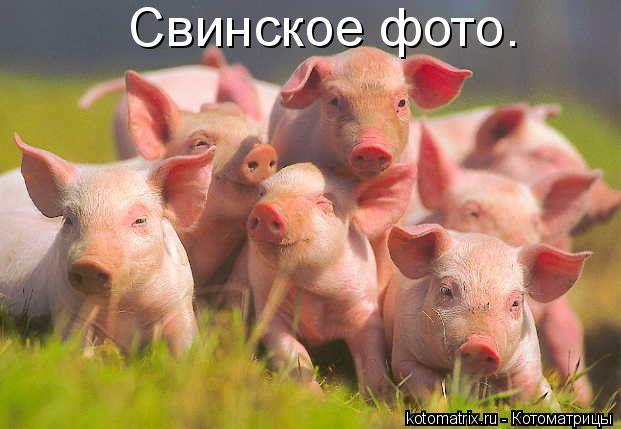 Котоматрица: Свинское фото.