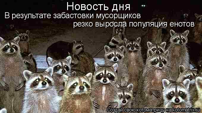 Котоматрица: резко выросла популяция енотов В результате забастовки мусорщиков  Новость дня