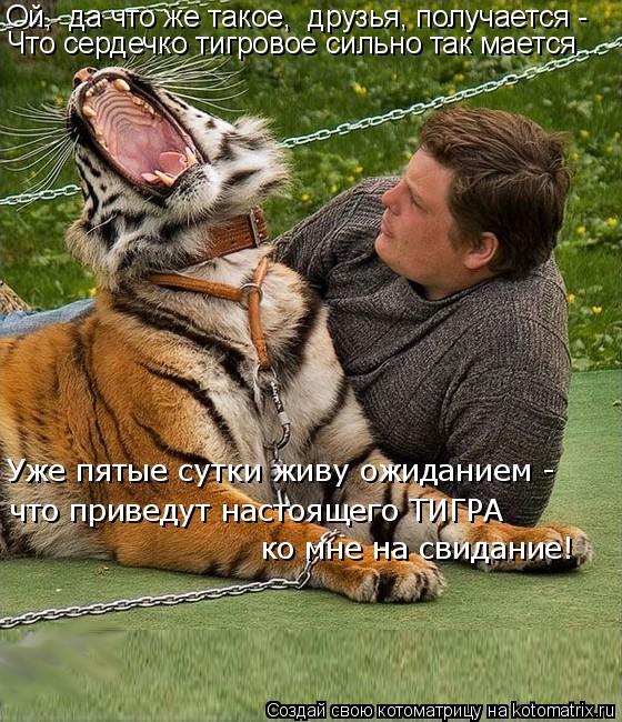 Котоматрица: Ой,  да что же такое,  друзья, получается -  Что сердечко тигровое сильно так мается... Уже пятые сутки живу ожиданием -  ко мне на свидание! что