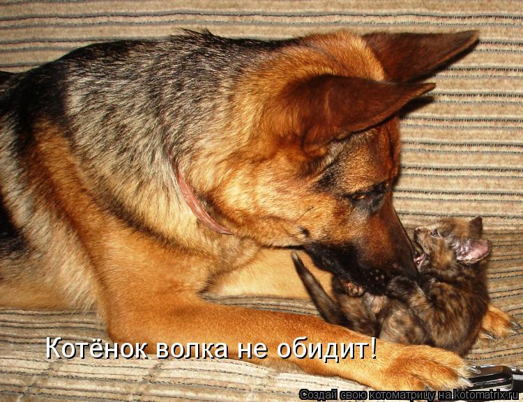 Котоматрица: Котёнок волка не обидит!