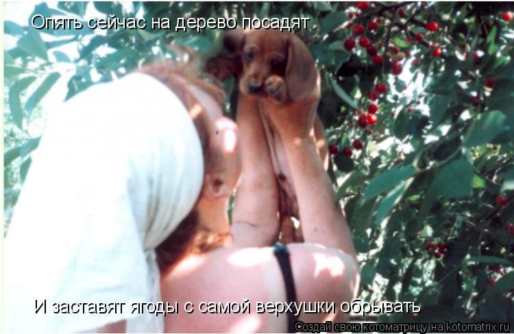 Котоматрица: Опять сейчас на дерево посадят И заставят ягоды с самой верхушки обрывать