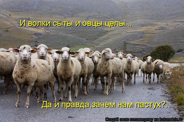 Котоматрица: И волки сыты и овцы целы... Да и правда,зачем нам пастух?..