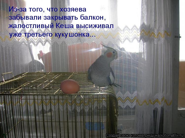 Котоматрица: Из-за того, что хозяева  забывали закрывать балкон, жалостливый Кеша высиживал  уже третьего кукушонка...