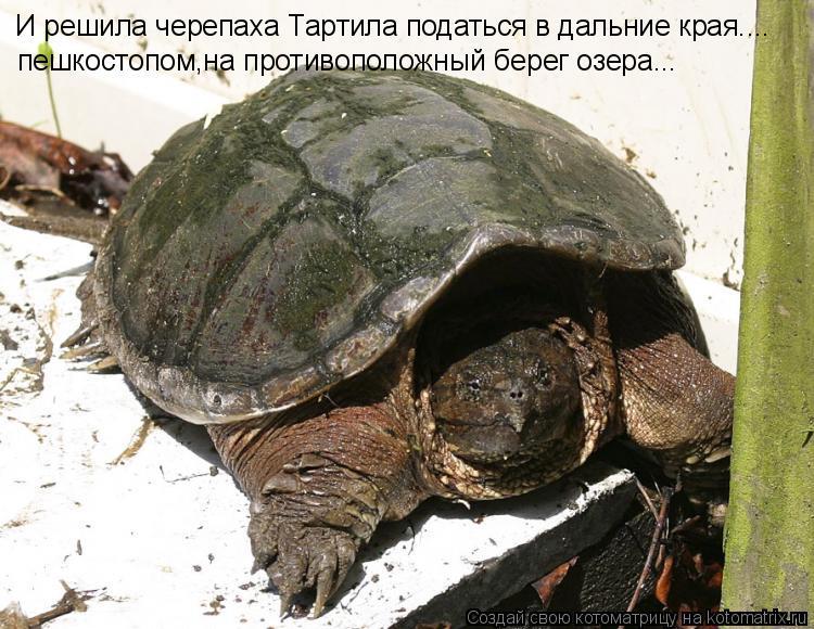 Котоматрица: И решила черепаха Тартила податься в дальние края.... пешкостопом,на противоположный берег озера...