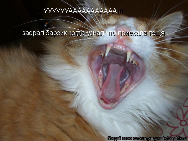Котоматрица: ...УУУУУУААААААААААА!!! заорал барсик когда узнал что приехала тещя