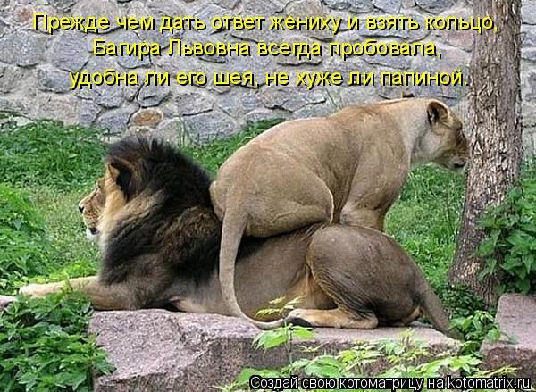 Котоматрица: Прежде чем дать ответ жениху и взять кольцо,  Багира Львовна всегда пробовала,  удобна ли его шея, не хуже ли папиной.