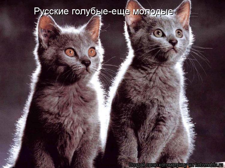 Котоматрица: Русские голубые-еще молодые