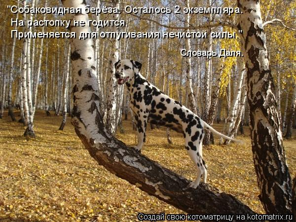 """Котоматрица: """"Собаковидная берёза. Осталось 2 экземпляра. На растопку не годится. Применяется для отпугивания нечистой силы."""" Словарь Даля."""
