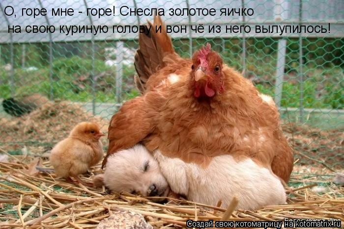 Котоматрица: О, горе мне - горе! Снесла золотое яичко  на свою куриную голову и вон чё из него вылупилось!
