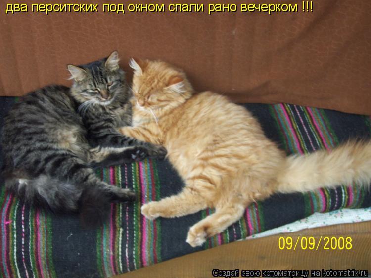 Котоматрица: два перситских под окном спали рано вечерком !!!