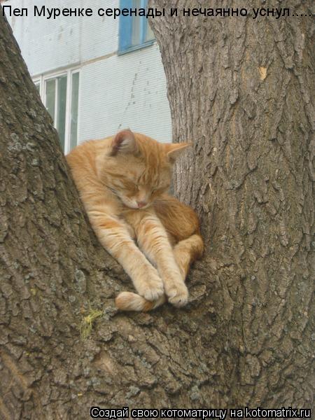 Котоматрица: Пел Муренке серенады и нечаянно уснул.....