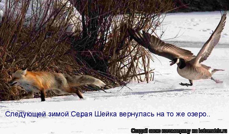 Котоматрица: Следующей зимой Серая Шейка вернулась на то же озеро..