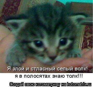 Котоматрица: Я злой и стласный селый волк! я в полосятах знаю толк!!!