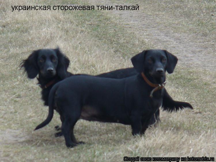 Котоматрица: украинская сторожевая тяни-талкай