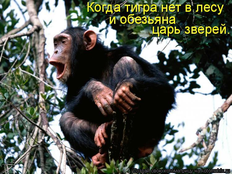 Котоматрица: Когда тигра нет в лесу  и обезьяна царь зверей.