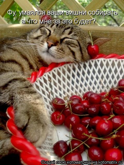 Котоматрица: Фу, умаялся ваши вишни собирать а что мне за это будет?
