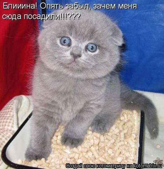KOALAMANIA - фотографии животных и фотообъявления.  Хочу британского котенка=)* Фото:5068.jpg.
