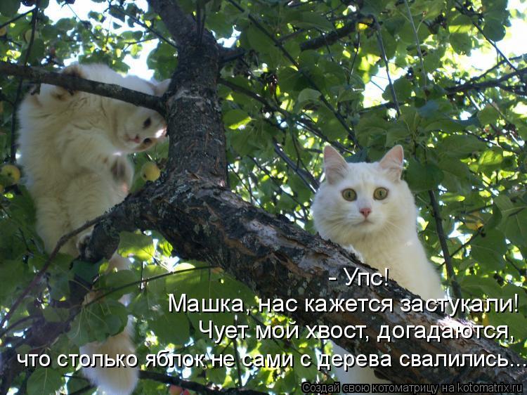 Котоматрица: - Упс! Машка, нас кажется застукали! Чует мой хвост, догадаются, что столько яблок не сами с дерева свалились...