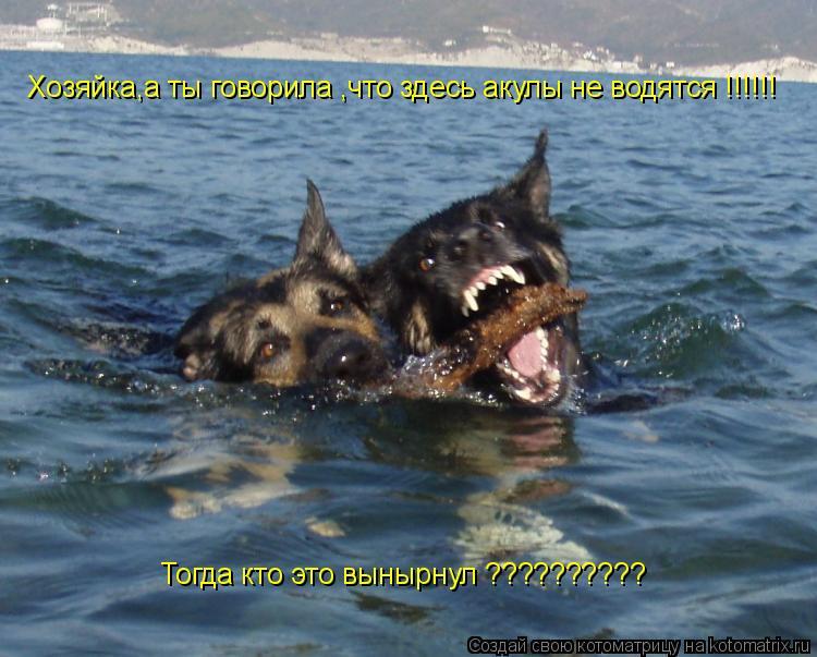 Котоматрица: Хозяйка,а ты говорила ,что здесь акулы не водятся !!!!!! Тогда кто это вынырнул ??????????