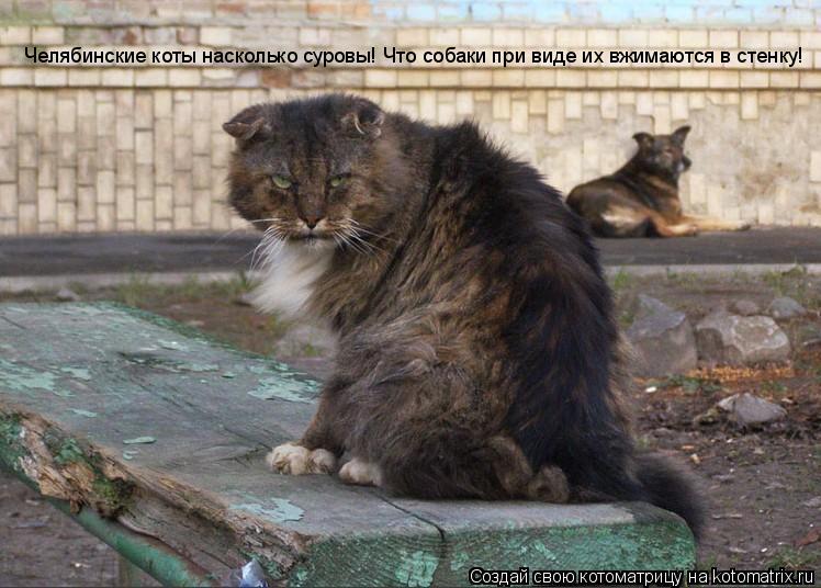 Котоматрица: Челябинские коты насколько суровы! Что собаки при виде их вжимаются в стенку!