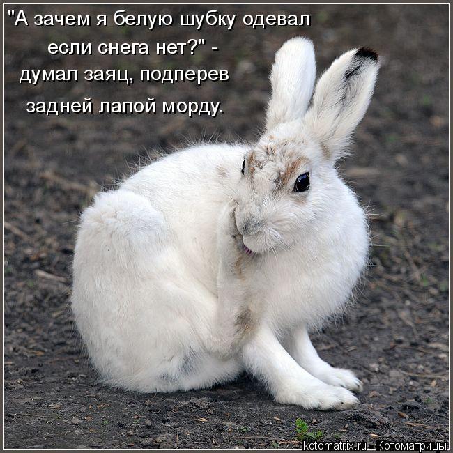 """Котоматрица: """"А зачем я белую шубку одевал если снега нет?"""" -  думал заяц, подперев задней лапой морду."""