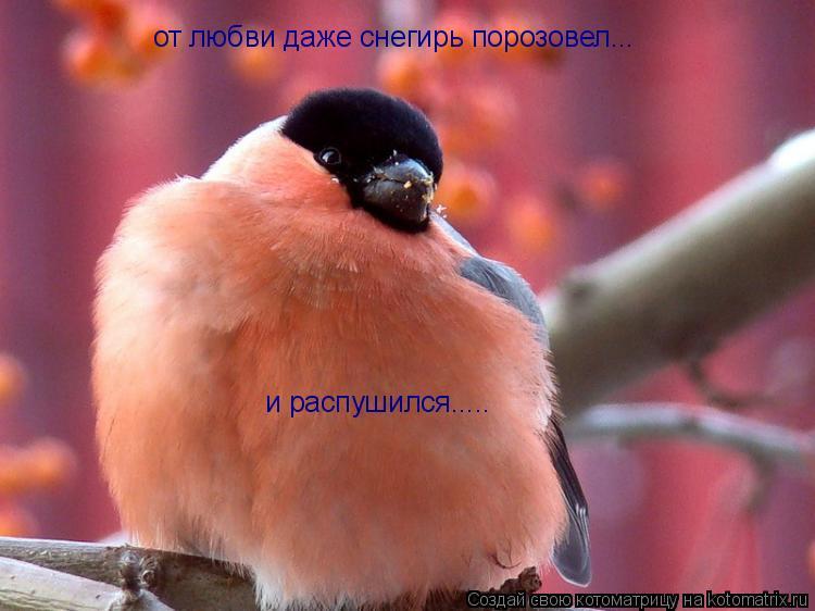 Котоматрица: от любви даже снегирь порозовел... и распушился.....