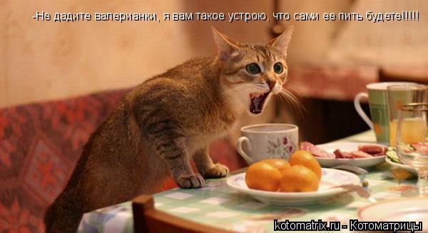 Котоматрица: -Не дадите валерианки, я вам такое устрою, что сами ее пить будете!!!!!