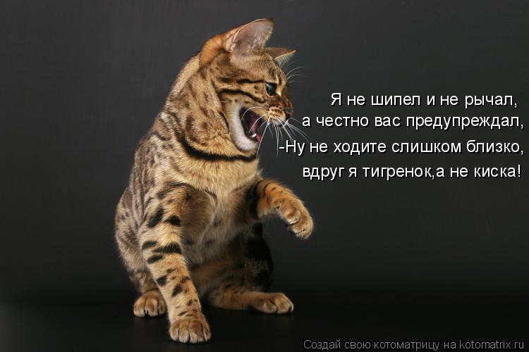 Котоматрица: Я не шипел и не рычал, а честно вас предупреждал,  -Ну не ходите слишком близко, вдруг я тигренок,а не киска!