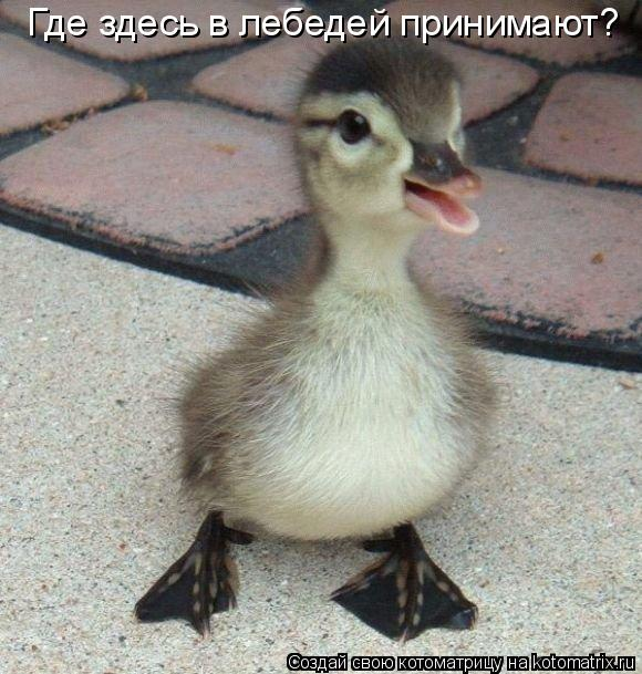 Котоматрица: Где здесь в лебедей принимают?