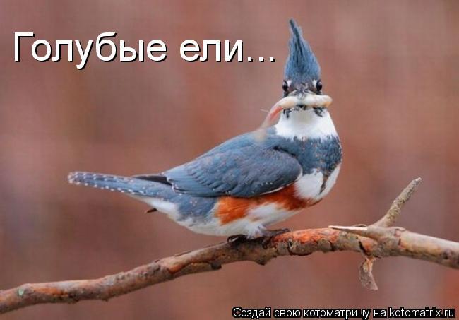 Котоматрица: Голубые ели...